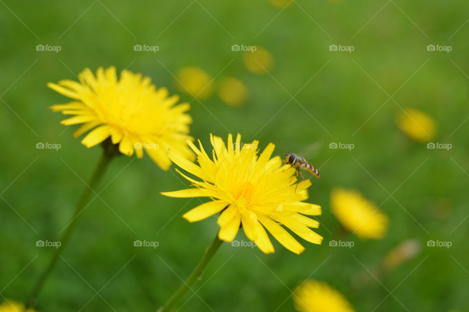 Pollination of dandelion by bee