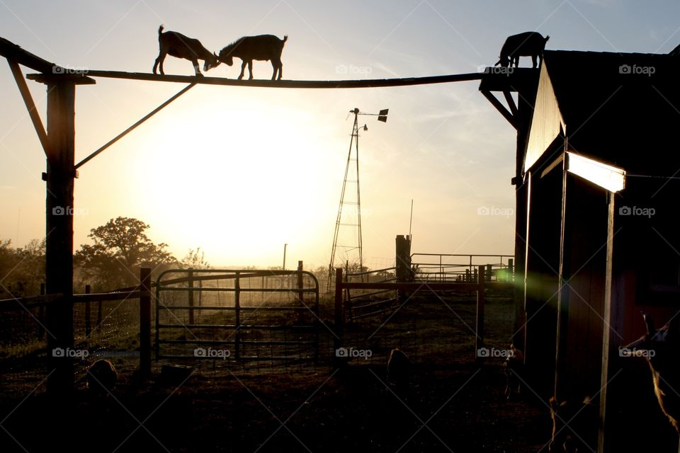 Gorgeous golden bright yellow sun is setting off in the distant horizon with beautiful silhouette of goats on top of wooden beam at farm!
