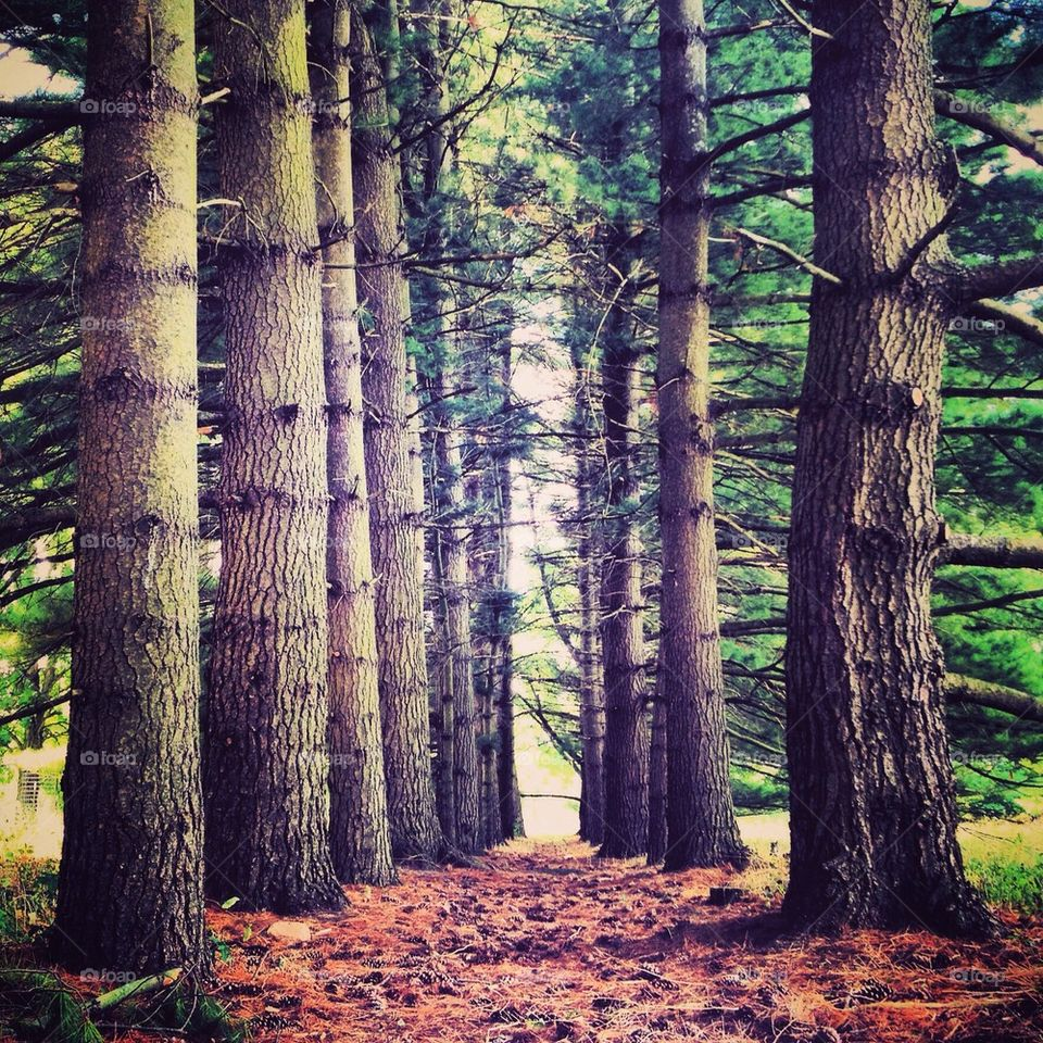 Pine glade