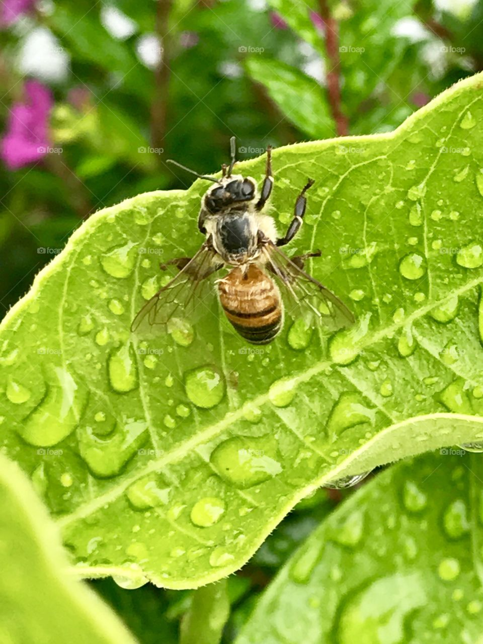 Bee After Rain
