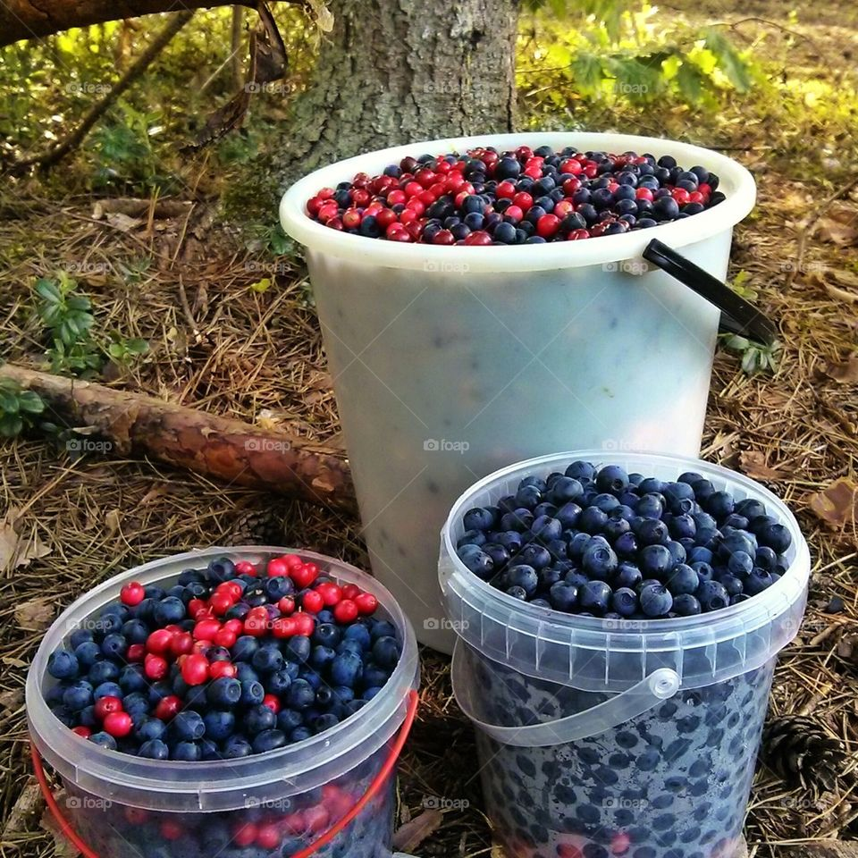 Forest berries. Blueberries and cranberries. The harvest.
