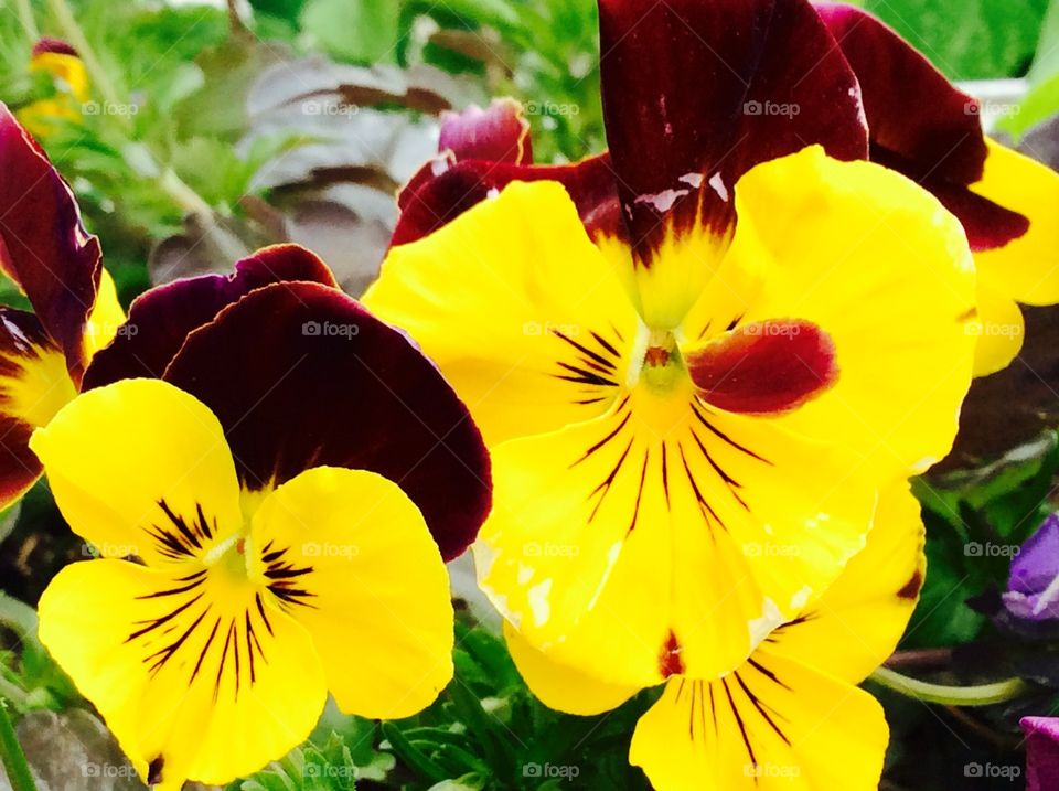 Aromatic yellow   Pansy flower