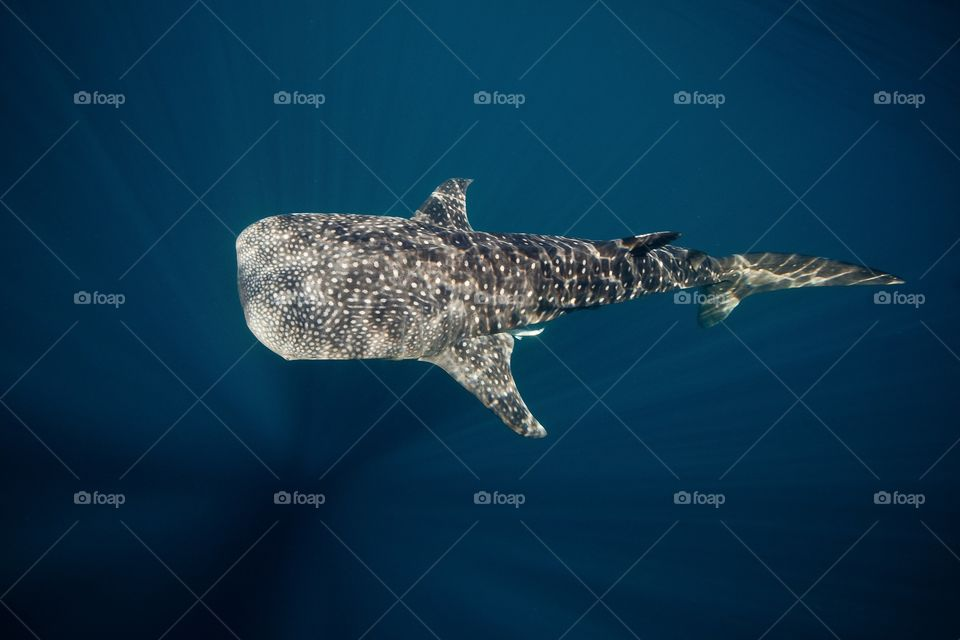 Above the whale shark