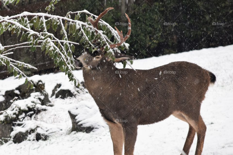 the deer uses his antlers to hold down the branches so he can eat November 5th 2017