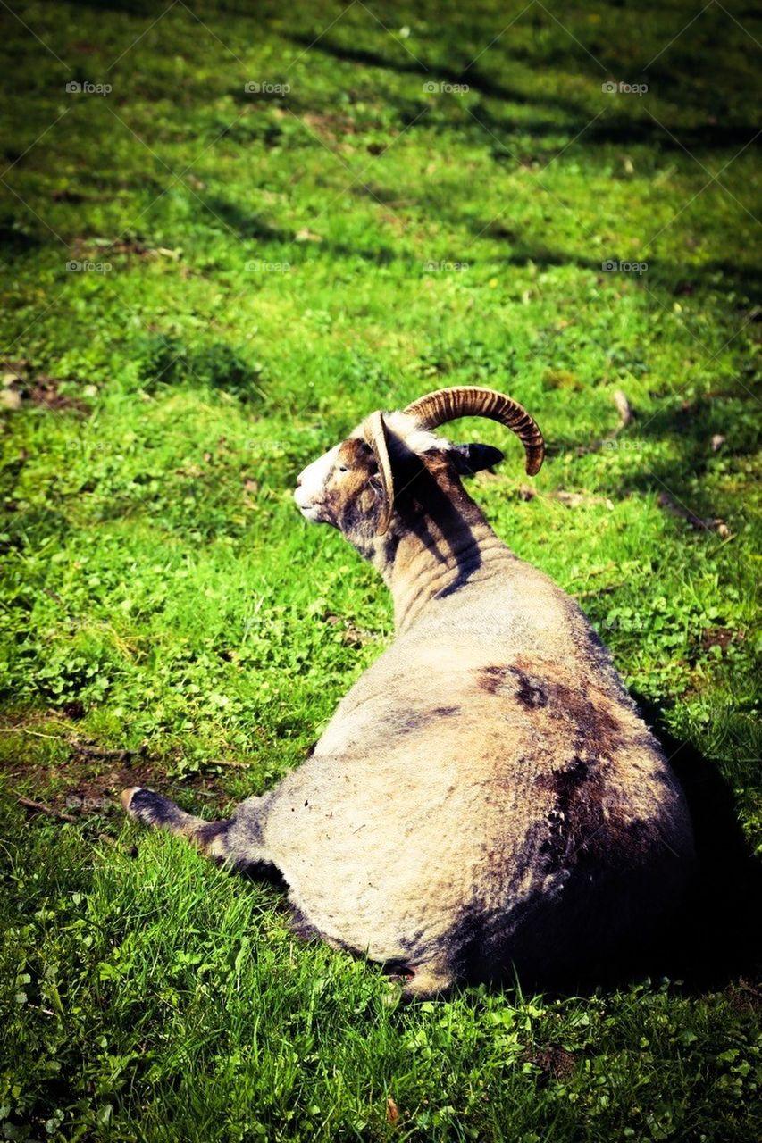 Sheep boss