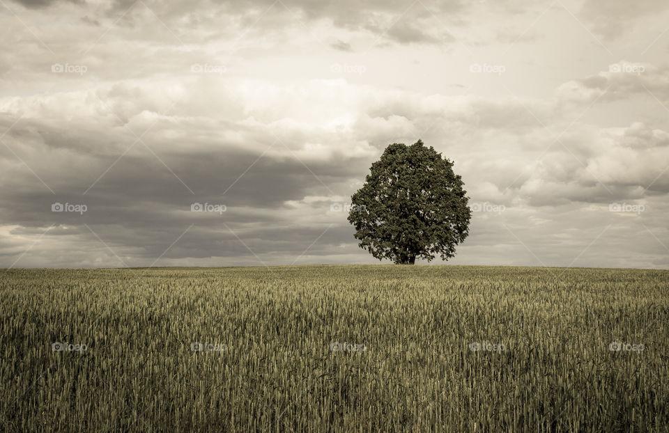 lone tree in a field in gloomy