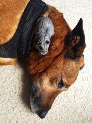 Rat and dog resting together