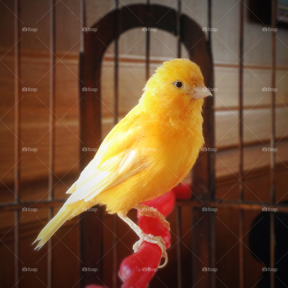 yellow cage bird small by vsusov