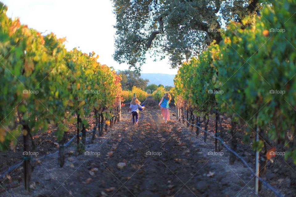 Two little girls running through a vineyard in Los Olivos California.