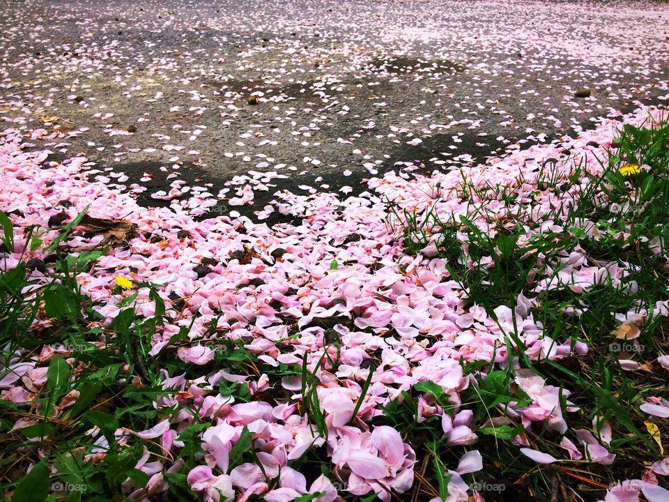 Carpet of petals from crabapple trees