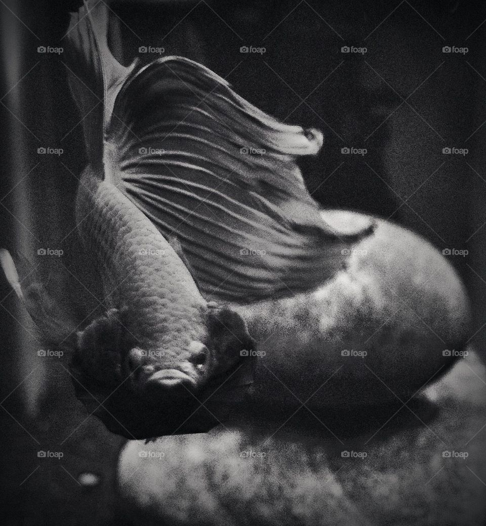 Betta fish in black and white
