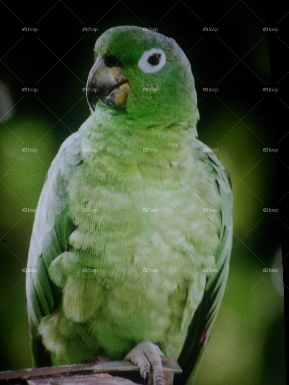 green parrot. green parrot sitting on a branch of tree