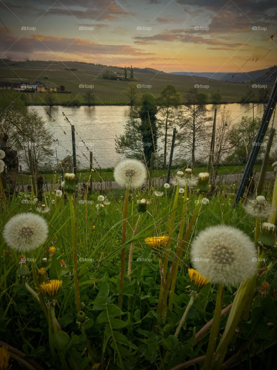 Dandelions Meadow Moselle Landscape  at Sunset Germany