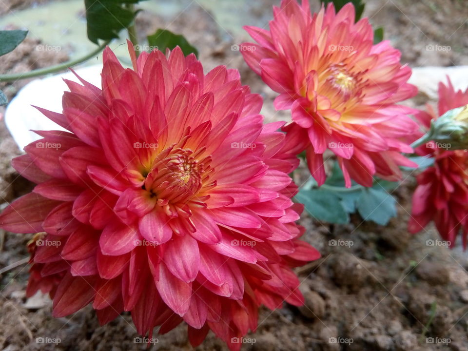 flower 2018-01-22 006  #আমার_চোখে #আমার_গ্রাম #nature #flower  #eukaryota #plantae #angiosperms #eudicots