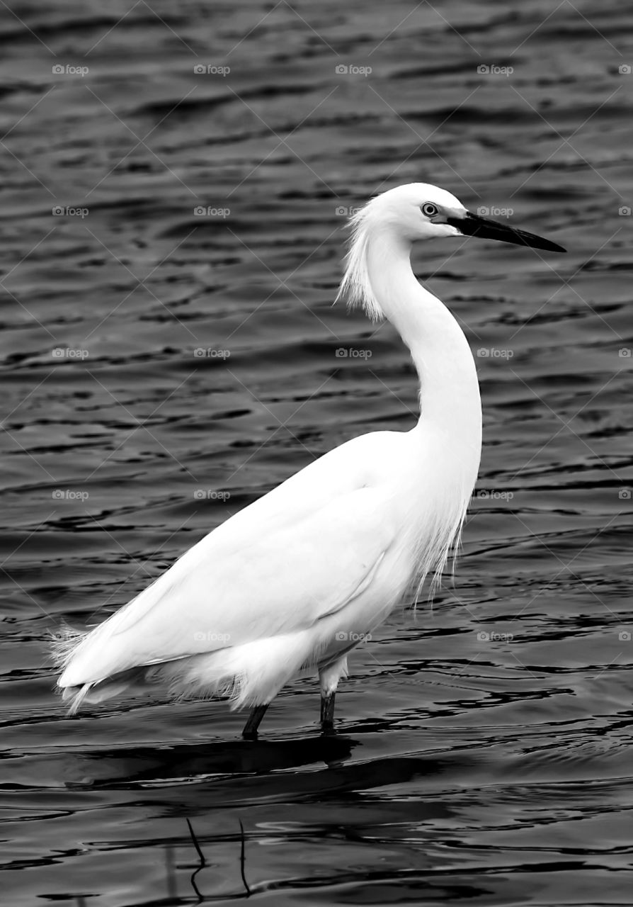 White Snowy Egret Bird Relaxing In The Water