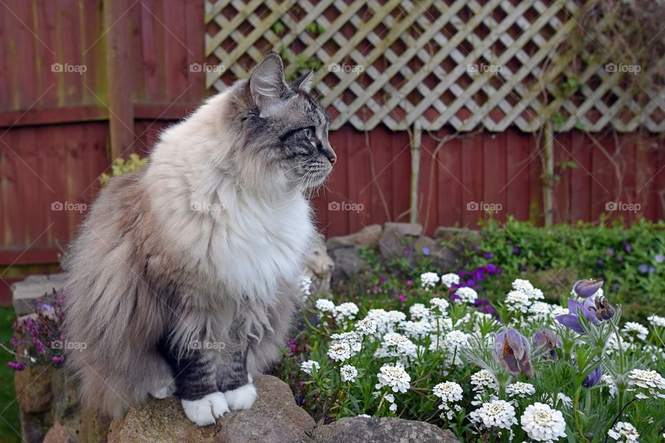 RAGDOLL SITTING ON A STONE WALL WITH FLOWERS.
