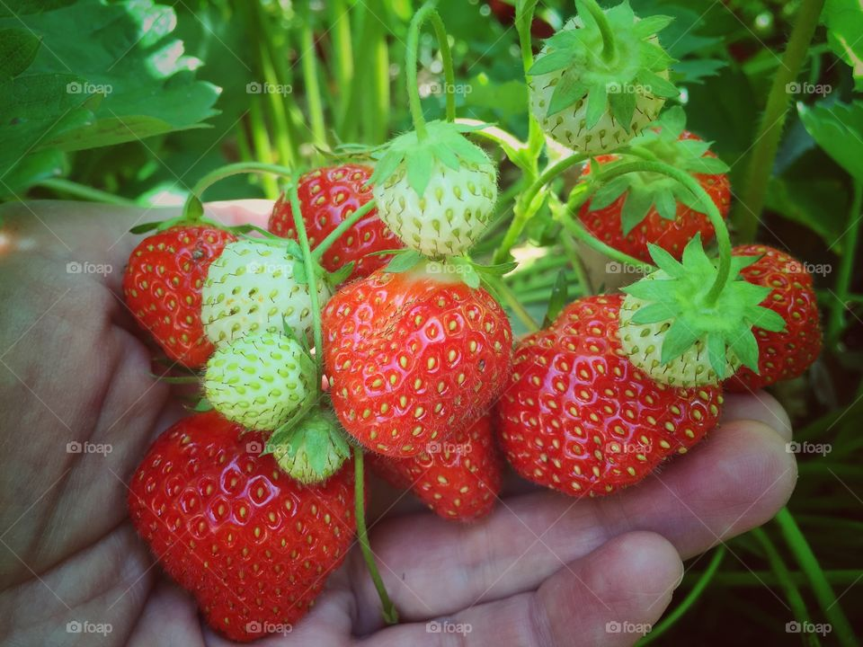 Person picking strawberries