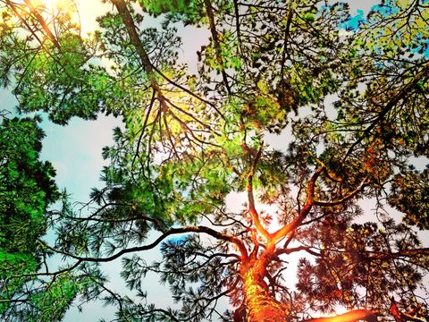 Sunlit tree canopy. Looking up at the sun light in the trees canopy.