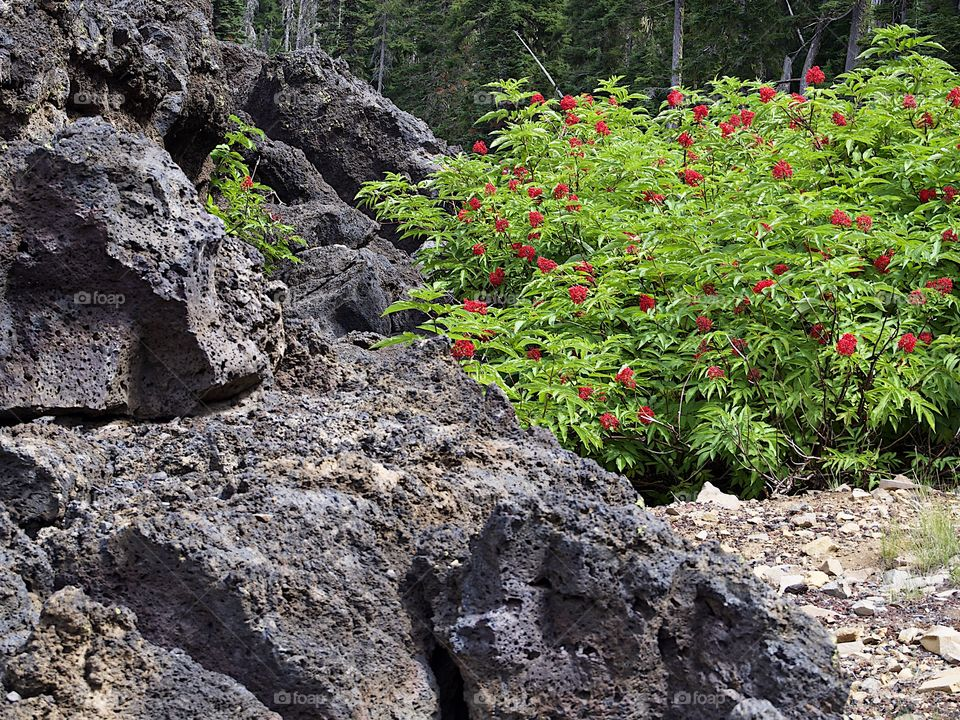 Bright red Elderberries bursting from green leaves in the hardened lava fields high in Oregon's Cascade Mountains on a summer day.