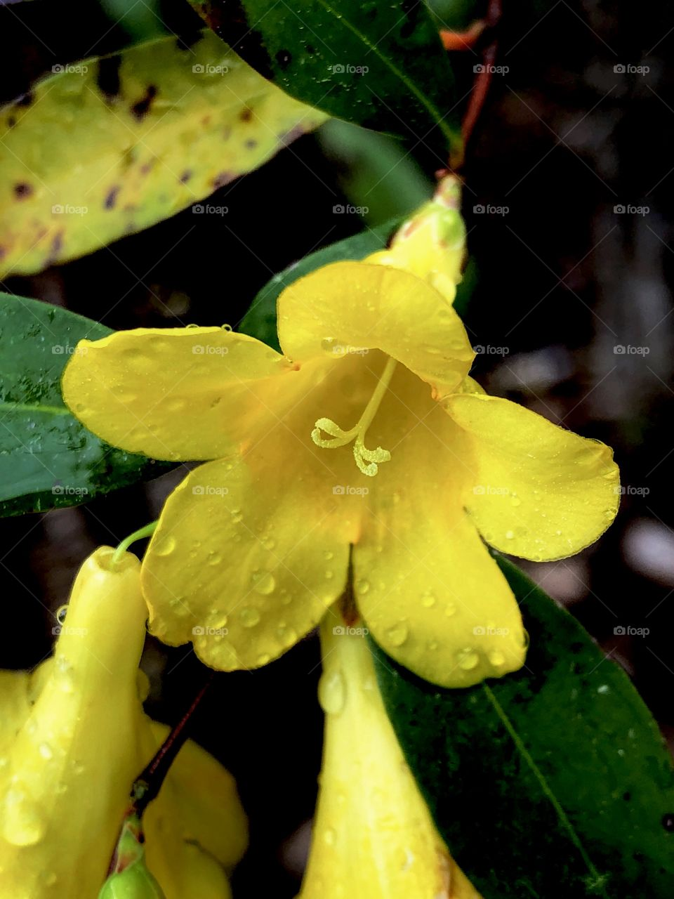 Yellow Flower With Dew