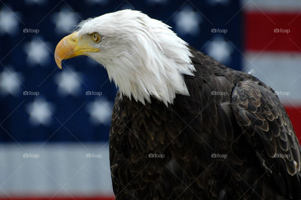 Bald Eagle head profile with the American flag in the back ground