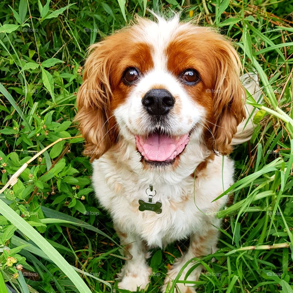 Lovely Cavoodle smiling