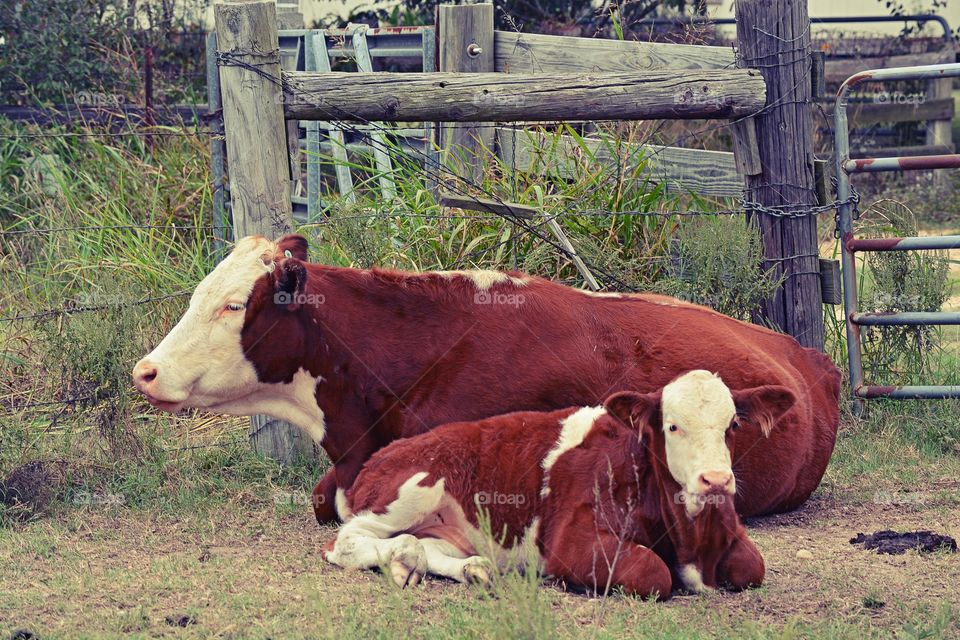 Mom and baby cow laying down together