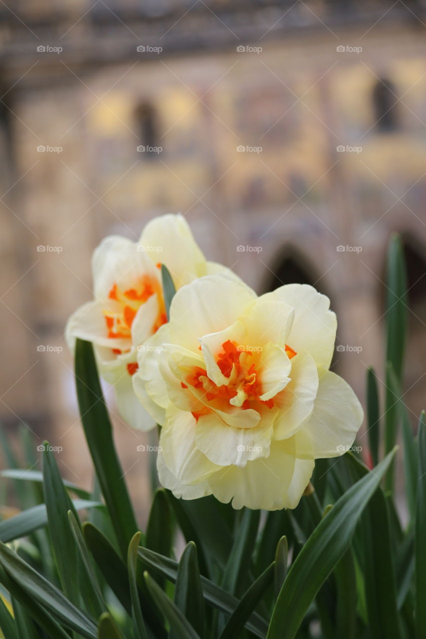 Beautiful Flower in Prague. beautiful flower with church as background