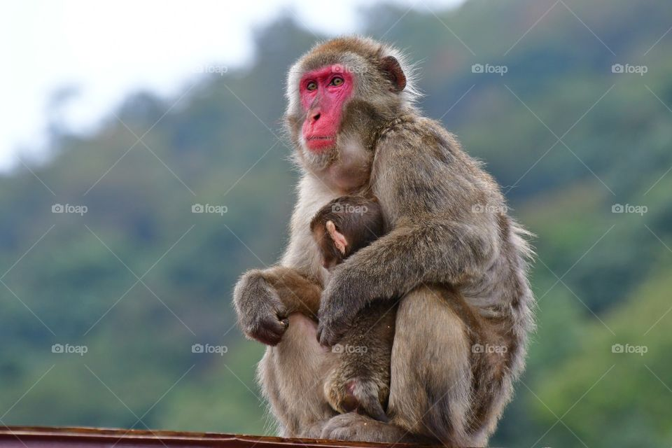 Japanese macaque momma with baby