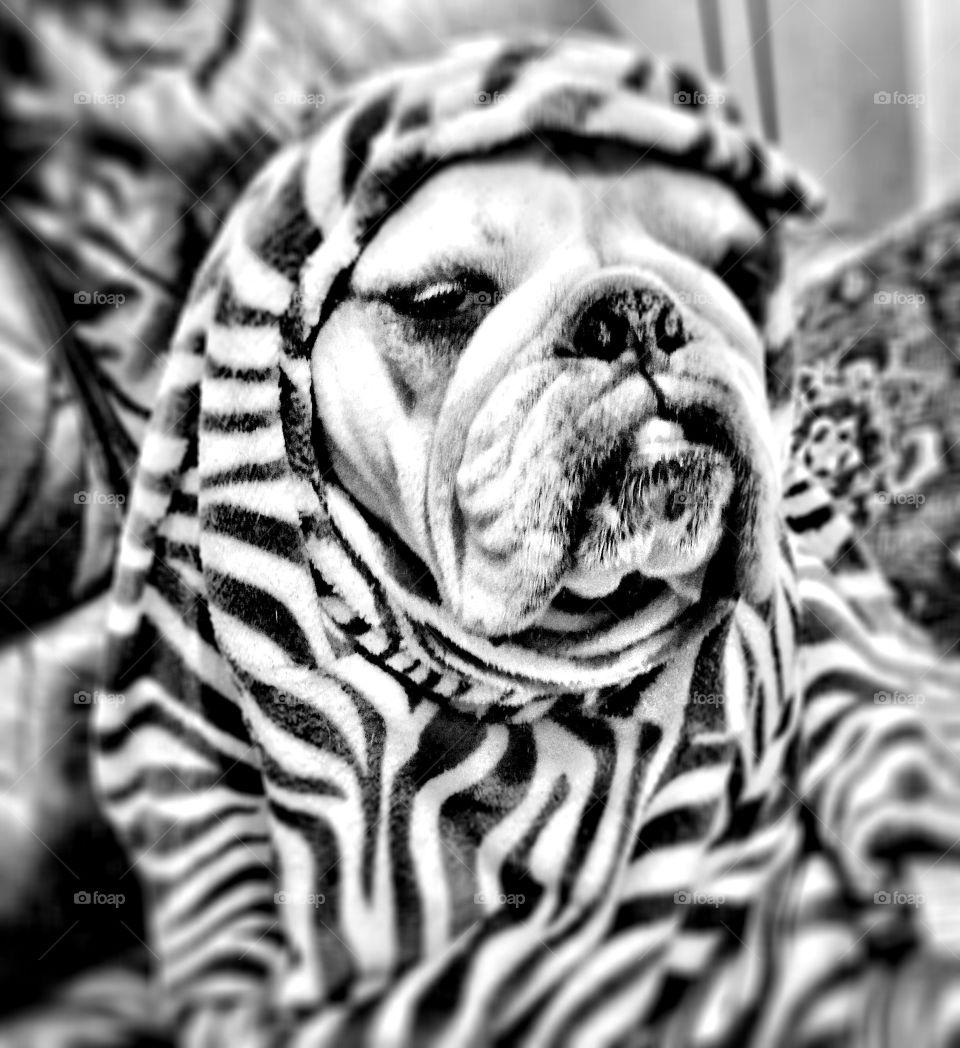 Bulldog It