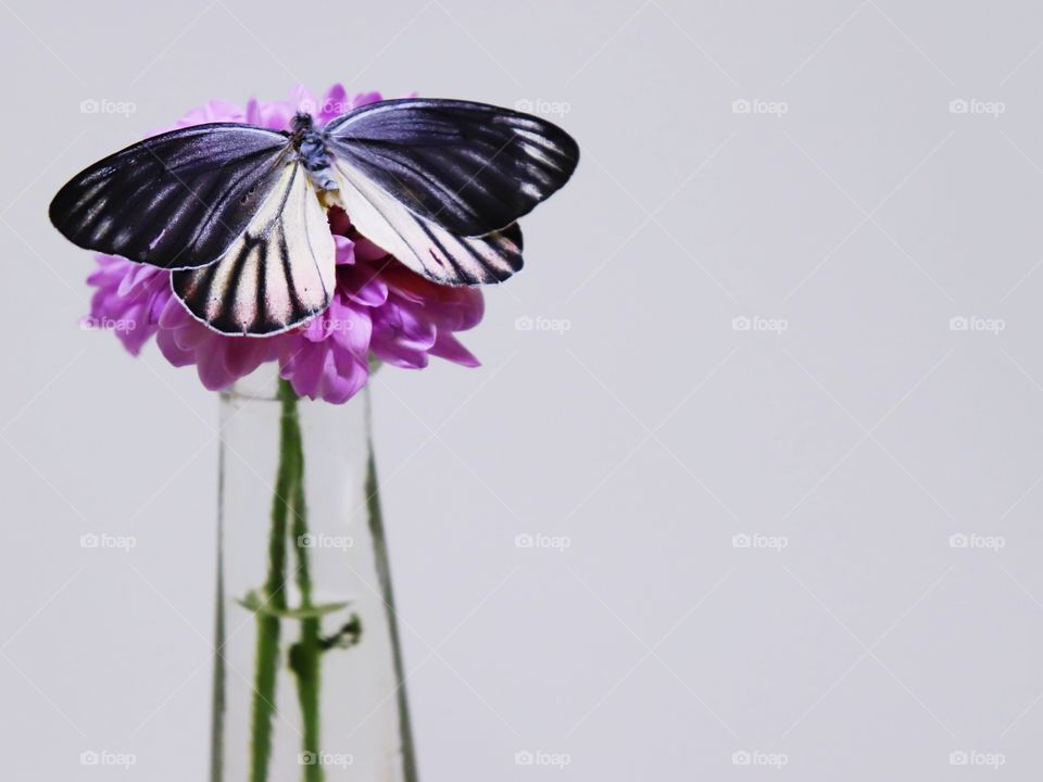 Pink Chrysanthemum and butterfly