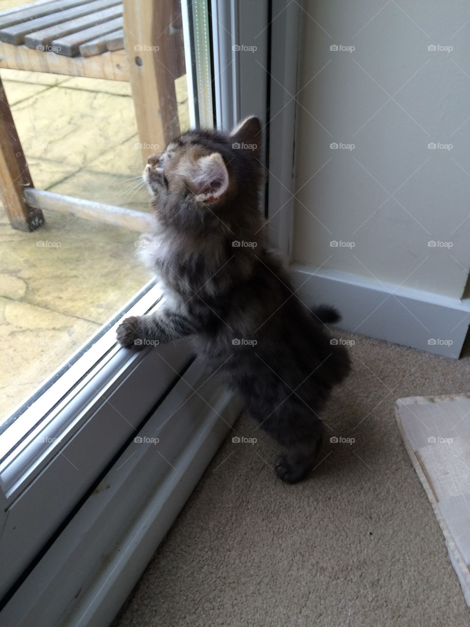 Maine coon tabby lynx kitten longing to see the outside world.