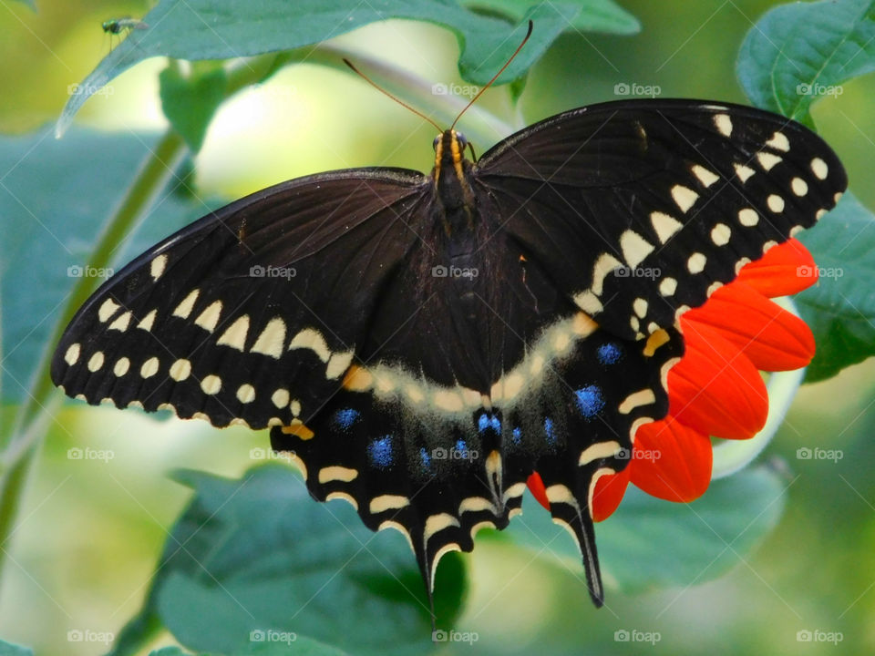 A Black Swallowtail Butterfly feeds on a Mexican Sunflower!