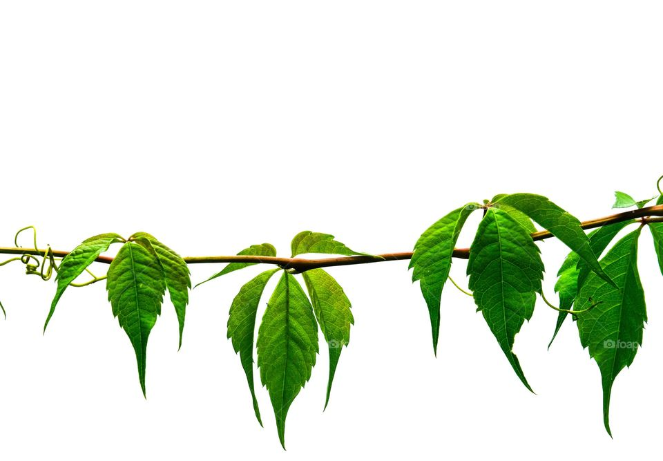 Beautiful Virginia Creeper vine isolated on white background, leaving plenty of text space.