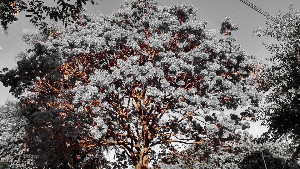 Ipê com muitas flores. Imagem editada em preto e branco com laranja. Caules em destaque.
