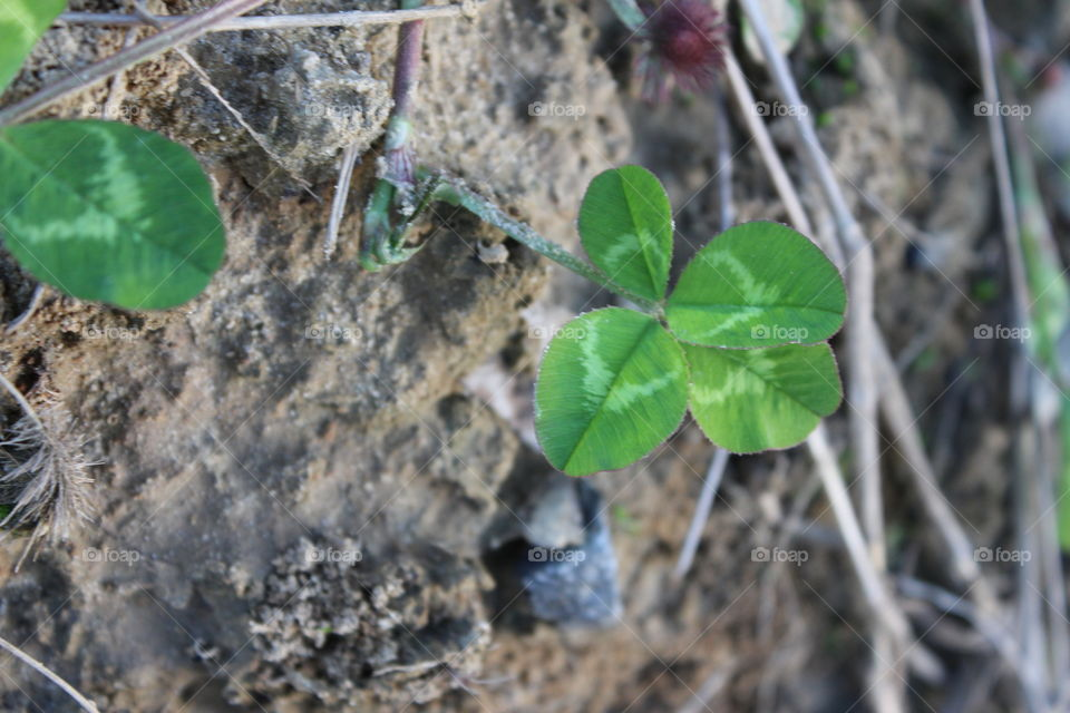 found a four leaf clover