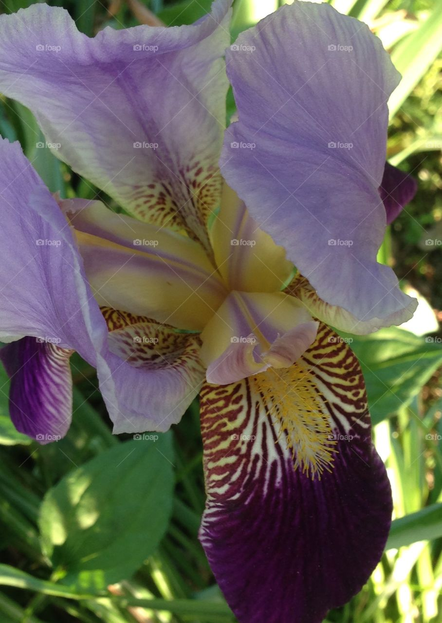 Intricate Iris. Delicate, beautiful iris