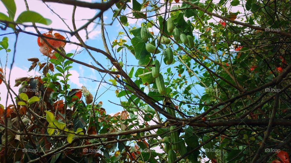 Pepinos, flores, árvore, cipós, folhagens...