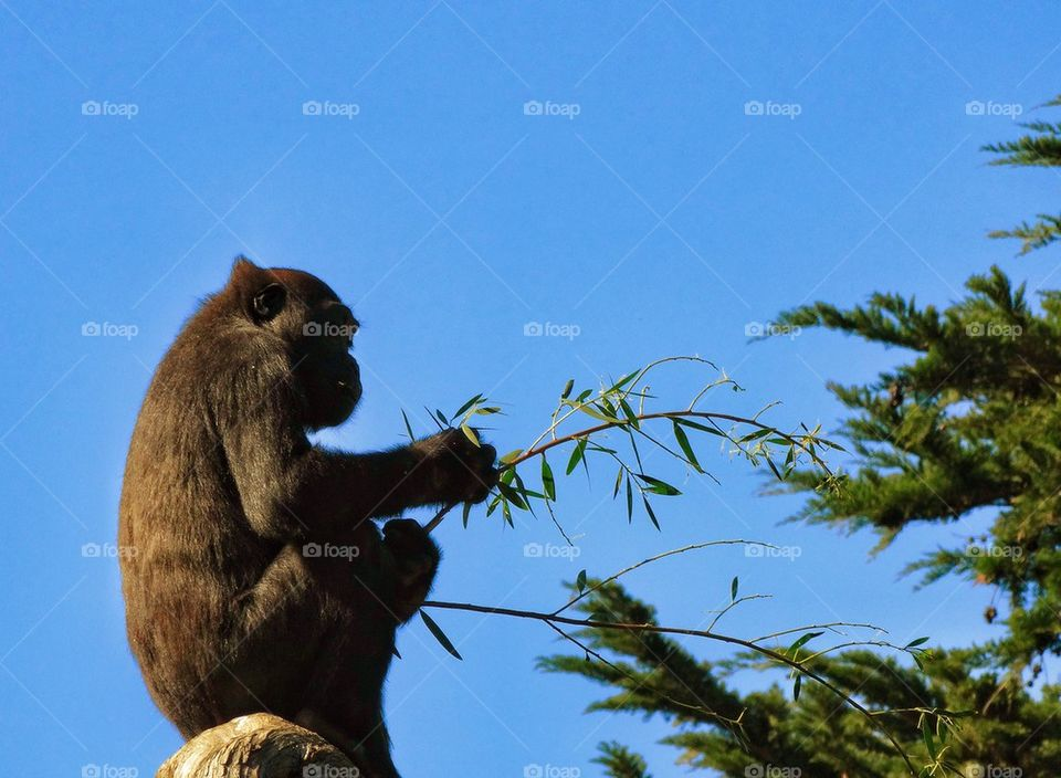 Gorilla In The Treetops