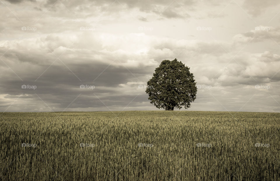 Single tree in the field