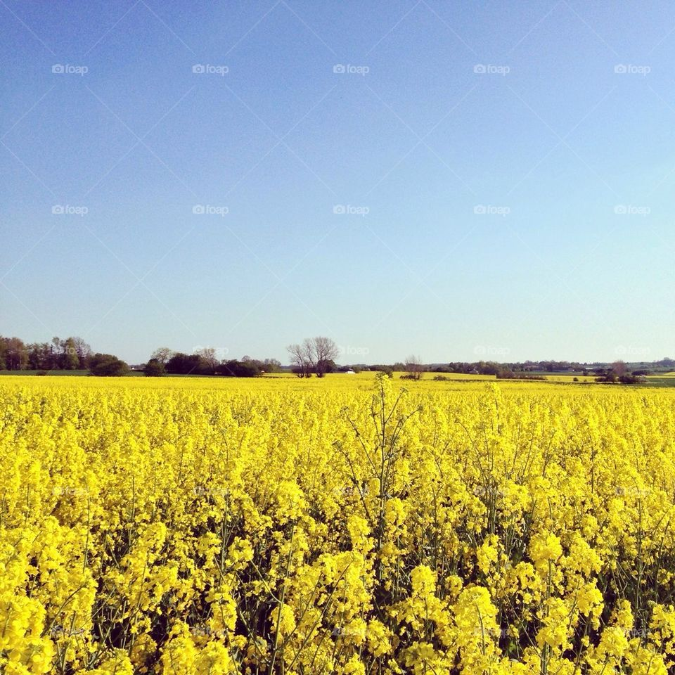 Scenic view of yellow field