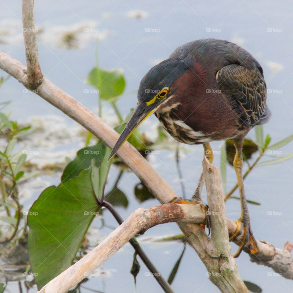 Green Heron. Fishing near lake Apopka