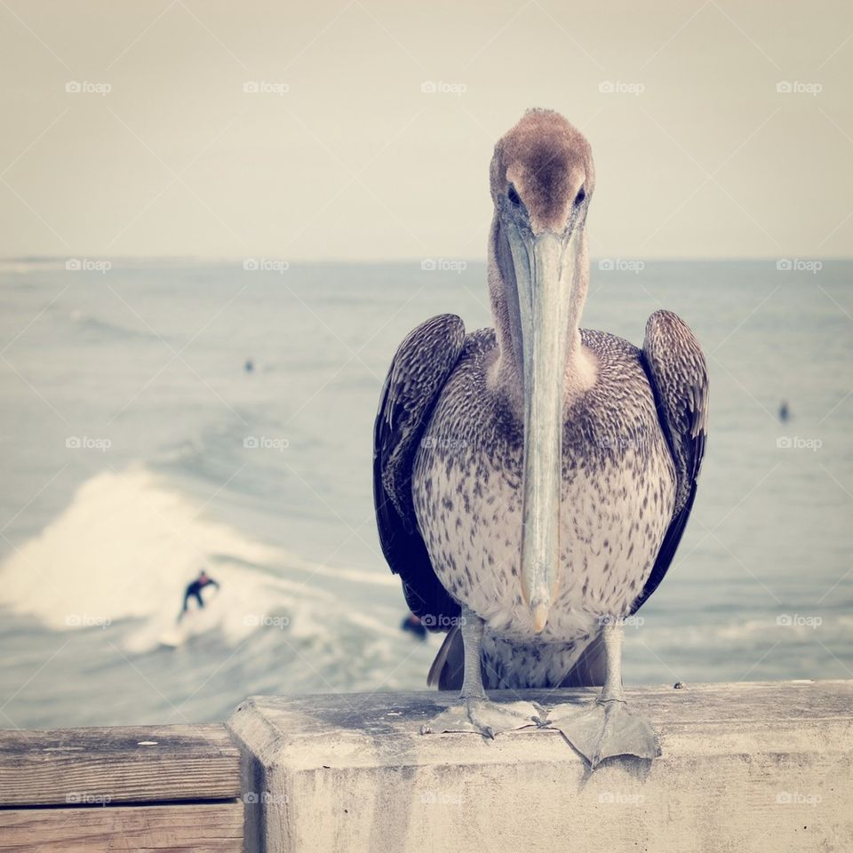 Pelican at the beach