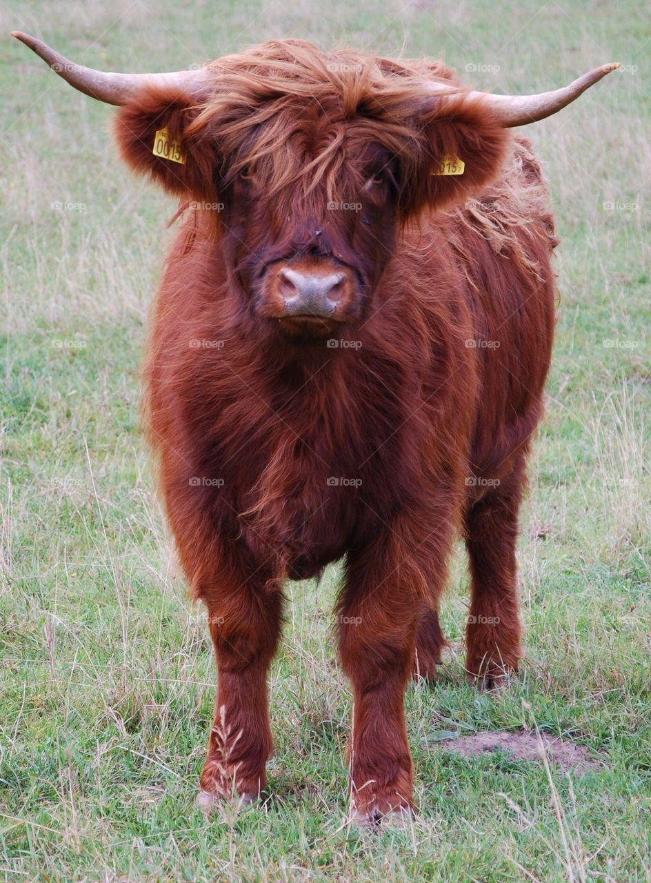 sweden field revingehed cattle by humlabumla1