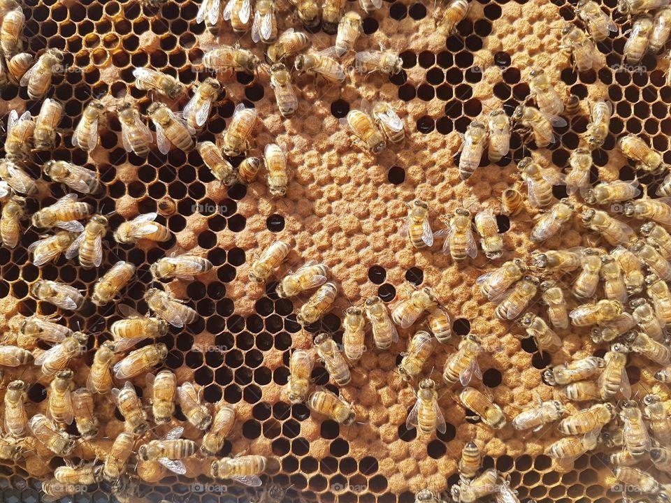Bees Brood Frame bee hive beekeeping